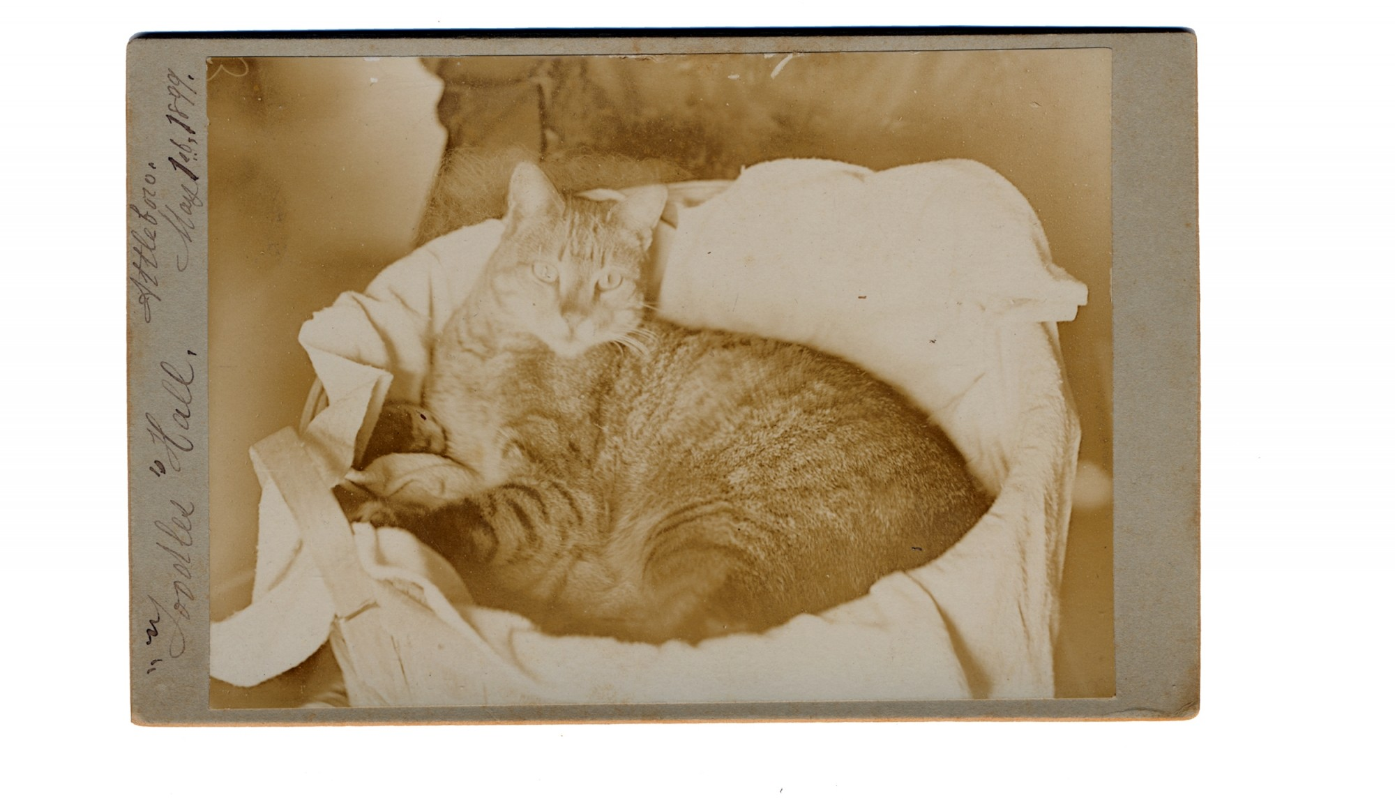 "CABINET CARD OF ""TOODLES HALL"" THE CAT"