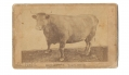CDV OF A LARGE STEER