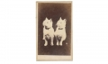 CDV PAIR OF WHITE CATS