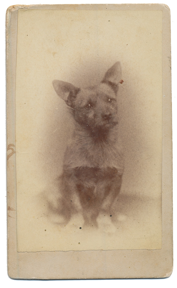 CDV OF A CAIRN TERRIER