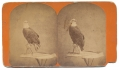 "STEREOVIEW OF ""OLD ABE"", THE WAR EAGLE – MASCOT OF THE 8TH WISCONSIN INFANTRY"