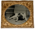EIGHTH PLATE TINTYPE OF LARGE DOG