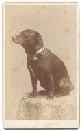 CDV OF A SMALL DOG