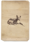 CDV OF SMALL BLACK & WHITE DOG