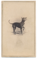 RARE IMAGE OF A DOG STANDING ON THREE LEGS-NOTE FROM PHOTOGRAPHER ON REVERSE